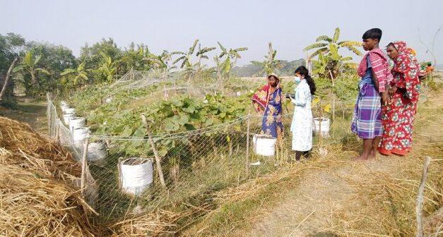 বস্তা পদ্ধতিতে লাউ চাষ করে সাবলম্ভী হয়েছেন মনপুরার দক্ষিণ সাকুচিয়ার রুমা বেগম